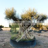 Cieza Collection - Millenary Olive Trees