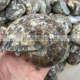 Natural Rock Conch Grey Ammonite Fossil Crystal Stone Ornaments For Sale