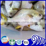 fresh white pomfret fish whole round on sale