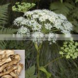 Top quality angelica sinensis extract