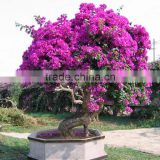 2m high bougainvillea plant