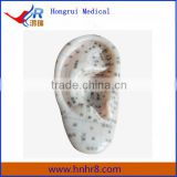 13/23cm Human Acupuncture Ear Model