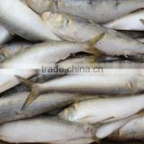 2016 Hot sale best quality newly caught w/r frozen sardine fish 8-10pcs/kg from China