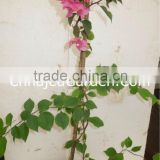 Outdoor Plants - Bougainvillea pink