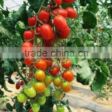 Hot sale hybrid F1 pink cherry tomato seeds-Qian Xi 900