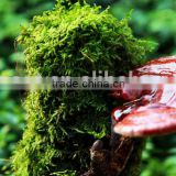 Healthy and beauty product Reishi Mushroom Polysaccarides 20% ganoderma lucidum extract powder
