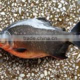 Iced live freshwater fish for sale