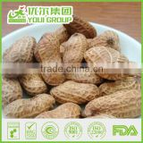 Wholesale Roasted Peanuts in Shell Certificated with BRC, HACCP, HALAL Manufacturer
