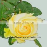 Long lasting indian fresh flower garlands rose wholesale peach avalanche rose for weddings from focus/china