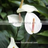 Best Selling Products Fresh White Anthuriums Flowers And Plants With High Quality Service