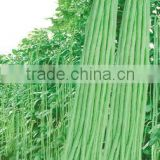 Excellent Quality Chinese Long Bean Seeds Cowpea Seeds Yard Long Bean Seeds For Cultivation