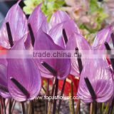 High Quality Fresh Cut Purple Anthurium Fresh Flower Anthurium From China Wholesale