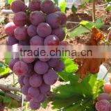 orchard fresh attractive red grape