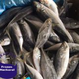 Chinese Frozen Horse Mackerel Fish With BQF Specifications