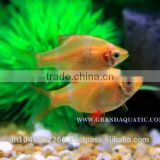 Golden Tiger Barb Fish For Sale and Export