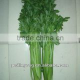 chinese fresh green celery