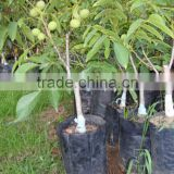 Walnut Saplings Available...