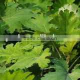 Factory supply Natural Macleaya cordata extract CAS NO.112025-60-2
