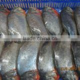 FROZEN WHOLE ROUND RED PACU FISH