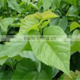 hot saling high quality low price 100% natural Manufactuer supply Mulberry leaf flavone extract powder