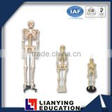 170cm human anatomy skeleton model