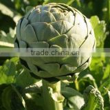 Food grade Pure natural Artichoke P.E. Cynarin Powder