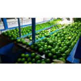 Sell Fresh Lime With Seed/ Seedless