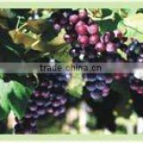 Grape Skin Extract Resveratrol 98% HPLC