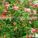 blooming Nerium indicum Milli of outdoor landscaping foliage decorative ornamental plants