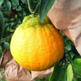 Chinese fruit citrus/orange with Own Orchard and Factory
