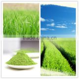 high quality barley grass extract/barley grass juice powder extracts/barley grass juice p.e.