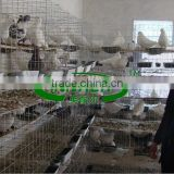 Qatar Poultry Farm Racing Pigeon Cage