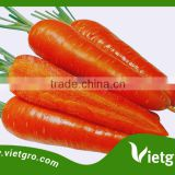 High Yield F1 Carrot Seeds F1 Orange- Asian Tropical Vegetable Seed for planting