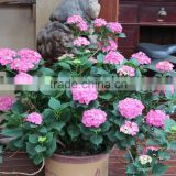 Sale Hydrangea macrophylla flower seeds colorful Hydrangea macrophylla/Silk Ball for planting