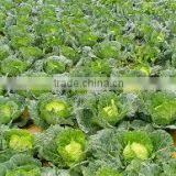 Wholesale Fresh Green Cabbage /Cabbages good for heathy made in Viet Nam