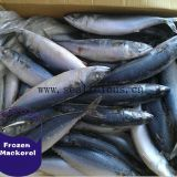 Hot sale Frozen Pacific mackerel fish on sale frozen mackerel price,frozen jack mackerel