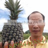 FRESH SWEET PINEAPPLE / +84963818434 whatsapp
