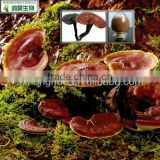 Chinese herbal medicine 20% polysaccharides ganoderma extract in stock