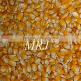 Indian yellow corn for animal feed
