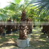 Washingtonia filiferaLinden.Wendland of outdoor ornamental decrotive landscaping palm trees plants