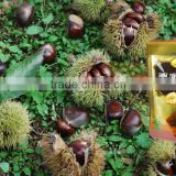 roasted chinese chestnuts