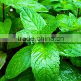 OEM/ODM pure natural and organic peppermint essential oil in bulk with fast delivery