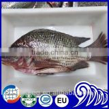Best sale Frozen Black Tilapia Fish With Gutted and Scaled Gilled Specifications