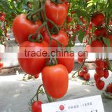 INquiry about Napu No.5 Heat resistance tomato F1 seeds