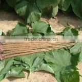 4:1 / 10%-40% Arctiin Natural Fresh Burdock Root Extract Powder