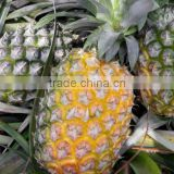 GIMEX VIET NAM FRESH PINEAPPLE