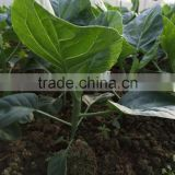 Chinese Broccoli seeds