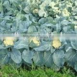 Hybrid cauliflower seeds for growing- Soft Sweet 75