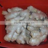 Special supply for supermarket China organic fresh ginger
