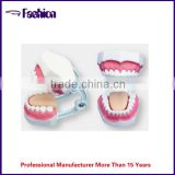 emulational human dental teaching model